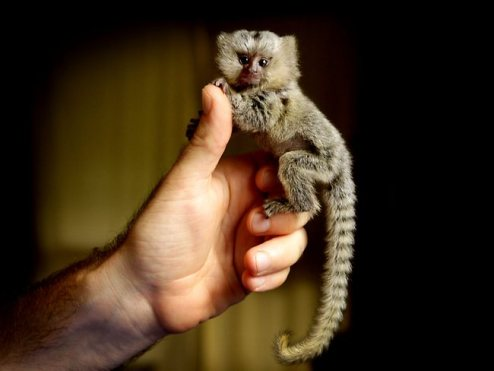 Abandoned Mini Monkey Saved: Australia (Pictures) (1/2)
