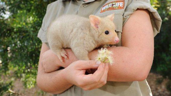 Rare Golden Possum Born Australia Picture Video